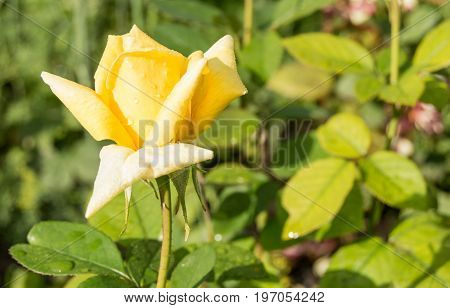Beautiful Yellow Rose Blooms In The Garden Background Of Green Leaves And Stems, The Concept Of Post