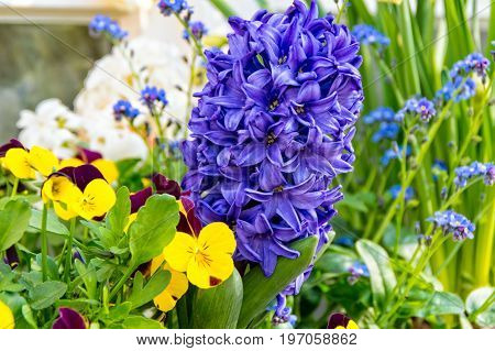 The Hyacinth and some nice Pansy flowers