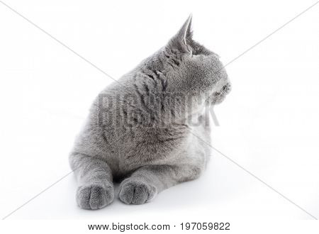 British Shorthair cat isolated on white. Turning back from the camera