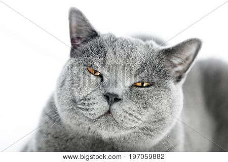 British Shorthair cat isolated on white. Angry, bored, irritated expression