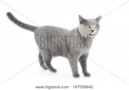 British Shorthair cat isolated on white. Standing alert. Full body