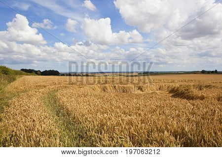 Golden Wheat Field And Scenery