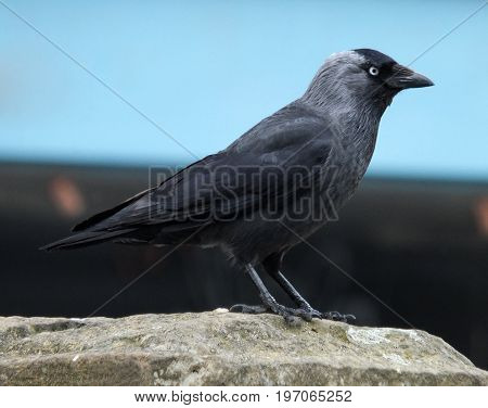 jackdaw in close up in profile perched on a stone wall with a blue background
