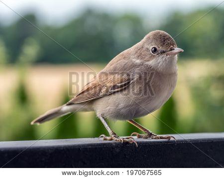 Blyth's reed warbler sitting on porch metal railing