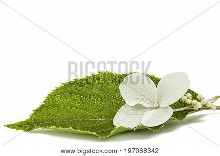Flower Of Hydrangea Closeup, Lat. Hydrangea Paniculata, Isolated On White Background