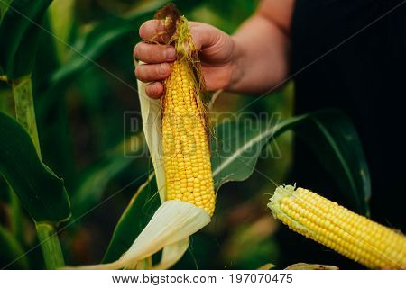 Farmer Holding  Corn Cobs In Hand In Corn Field. A Close Up Of An Woman Hands Holds A Corn. Farmer O