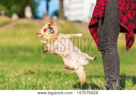 Chihuahua Dog Jumps In Front Of A Woman