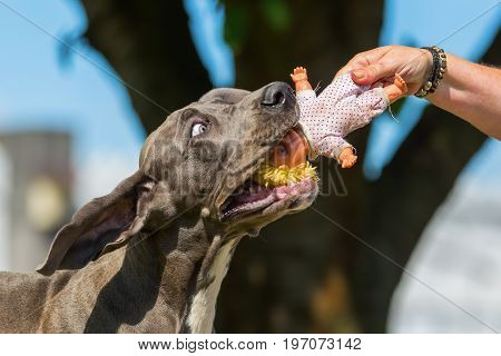 Great Dane Puppy Pulls At A Puppet