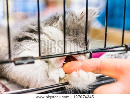 Portrait Of One Pale Calico White Tiny Kitten In Cage Waiting For Adoption Playing With Fingers