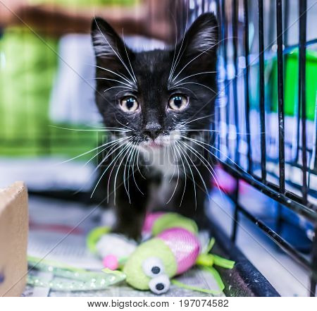 Portrait Of One Black Tiny Kitten's Face Curious Waiting For Adoption