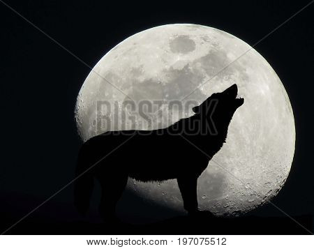 lone wolf howling in front of moon silhouette