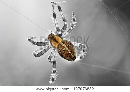 Cross Spider (araneus Diadematus) Black And White Background Isolated Color