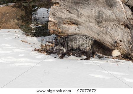 Silver Fox (Vulpes vulpes) Stands Near Log - captive animal