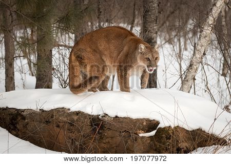 Adult Female Cougar (Puma concolor) Crouches on Rock - captive animal