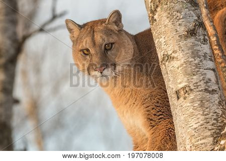 Adult Female Cougar (Puma concolor) Closeup in Tree - captive animal