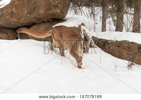 Adult Female Cougar (Puma concolor) Walks Forward Through Snow - captive animal