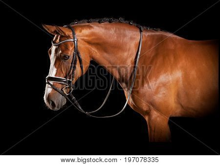 Elegant Horse Head With Bridle