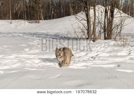 Canadian Lynx (Lynx canadensis) Moves Forward Through Snow - captive animal