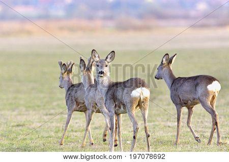Deer In Freedom