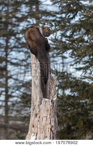 Fisher (Martes pennanti) Looks Back - captive animal