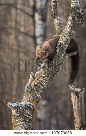 Fisher (Martes pennanti) Pushes Snow Off Tree - captive animal
