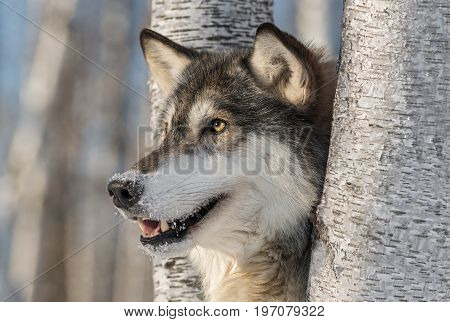 Grey Wolf (Canis lupus) Head Left - captive animal