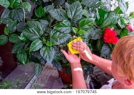 Household Concept Of Takes Care Of Indoor Plants. Adult Female Hands Wipes A Rag A Blooming Hibiscus