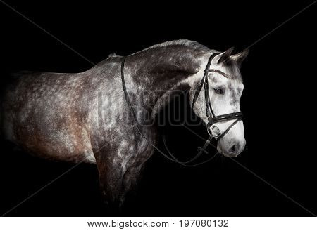 Gray Horse With Bridle