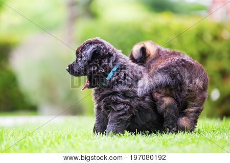 Portrait Of Two Old German Shepherd Puppies