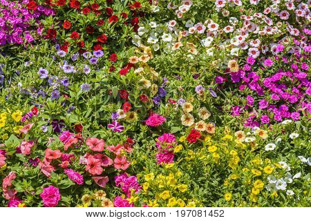Petunia hybrida, colorful spring flowers. Petunia is genus of 35 species of flowering plants of South American origin, closely related to tobacco, cape gooseberries, tomatoes, deadly nightshades, potatoes and chili peppers in the same family, Solanaceae.