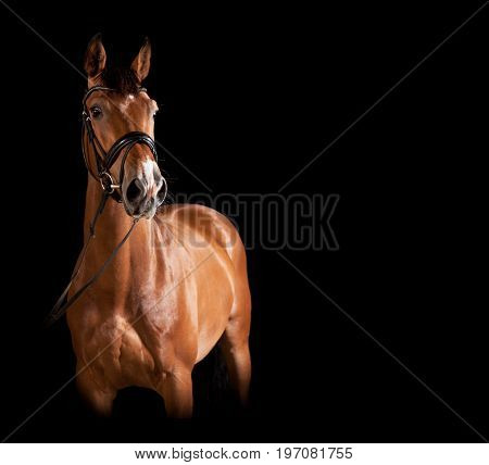 Gelding Against Black Background