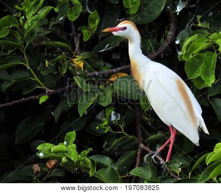 The Cattle Egret in the south Florida wetlands