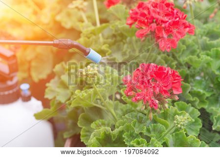 Spaying flowers in the garden with water or plant protection products such as pesticides against diseases and pests