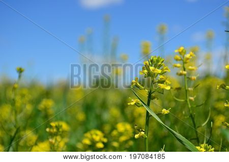 Closeup of Yellow canola flowers in Spring