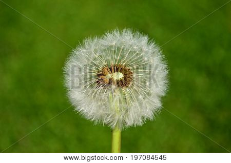 Dandelion seed head with green grass background