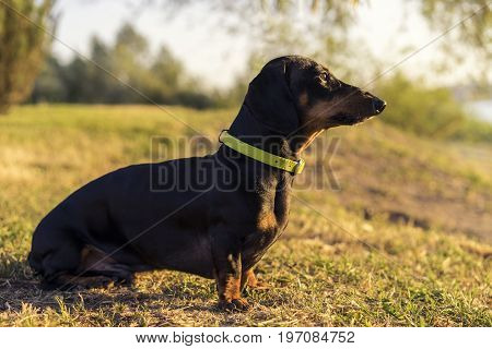 Dog puppy dachshund in a green slinger sits on a background of green grass at sunrise