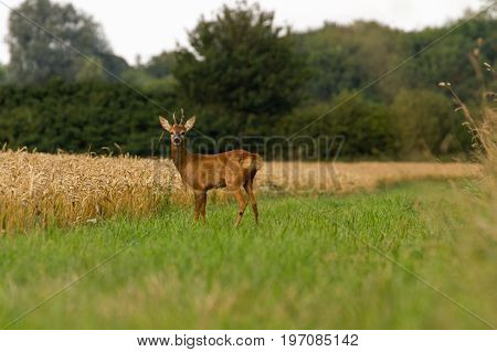 Buck Roe Deer Portrait on edge of field in Oxfordshire UK