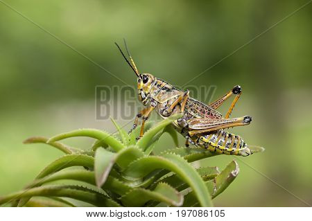 A close up of a large locust in Deland Florida.