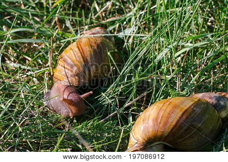 Adult african achatina snails eats grass outdoors