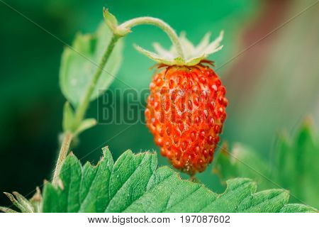 Red Fragaria Or Wild Strawberries. Growing Organic Wild Strawberry. Ripe Berry In Fruit Garden.