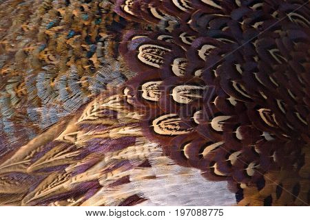 Colorful pheasant feathers background. abstract Horizontal texture