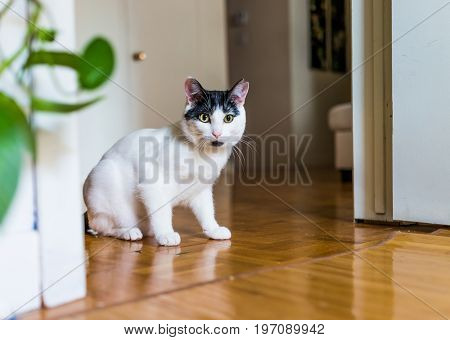 Closeup Portrait Of Black And White Cat Playing Sitting In Doorway On Hardwood Laminate Floor