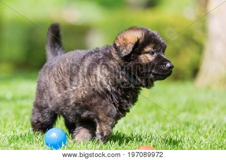 Old German Shepherd Puppy On The Lawn