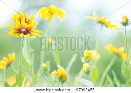 Yellow flowers on a delicate green background. Rudbeckia outdoors