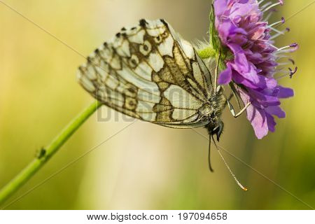 The marbled white - Melanargia galathea. Butterfly is a butterfly in the family Nymphalidae. A white-gray butterfly sits and rests on a flower. Her tendrils are clearly visible. Nice butterfly