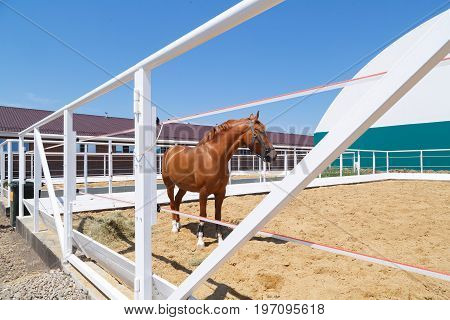 Beautiful chestnut horse stands in a white paddock