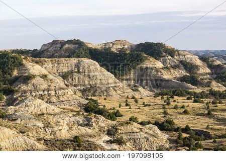 Pockets of pine trees grow in the dry layered bluffs of Theodore Roosevelt National Park
