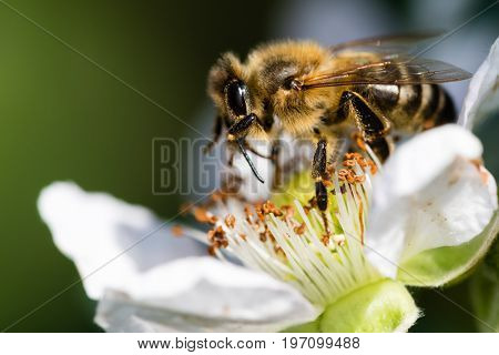 The European bee pollinating a white small flower in the spring meadow. Macro shot with dark blurry background.