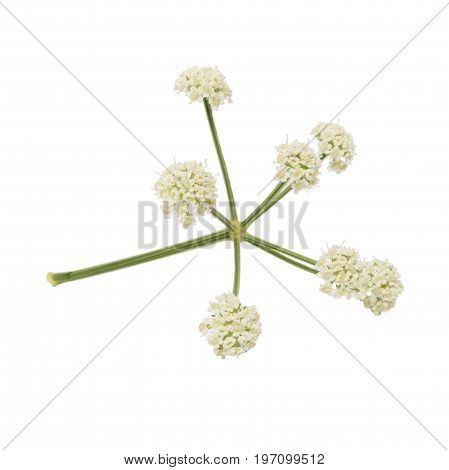 Bunch of twigs with white small flowers isolated on white background