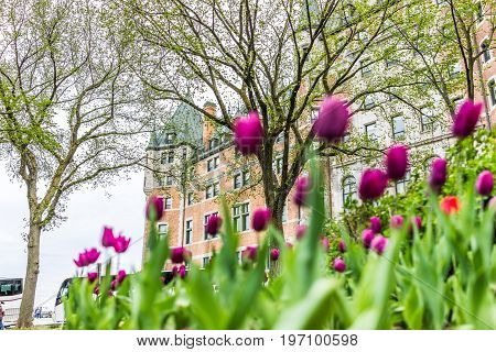 Quebec City Canada - May 29 2017: Old town street with purple tulip flowers and hotel Chateau Frontenac